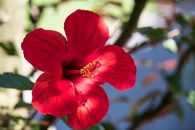 Hibiscus o hibisco