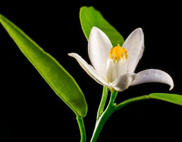 Propiedades de la flor de azahar