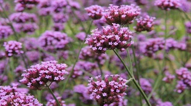 Usos de la verbena planta medicinal