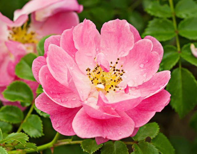 Usos de la rosa mosqueta