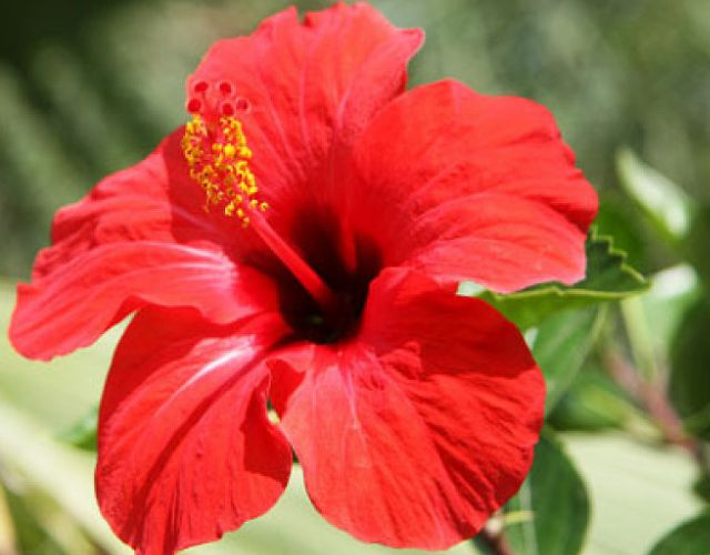 Propiedades curativas del hibisco