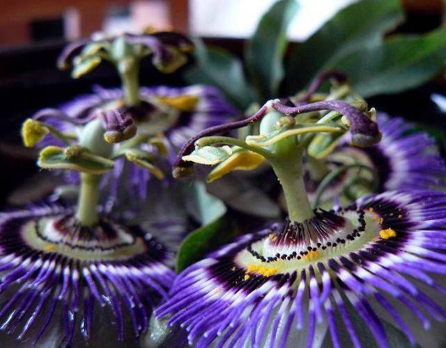 Flor de la pasión para el estrés