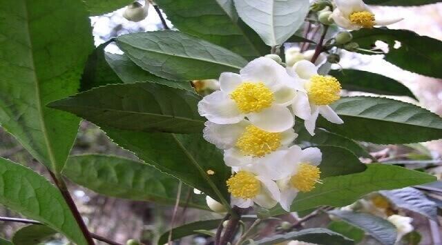 camellia sinesis