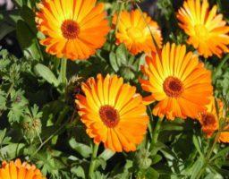 Beneficios y propiedades de la caléndula